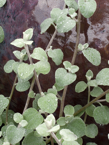 close-up of licorice plant