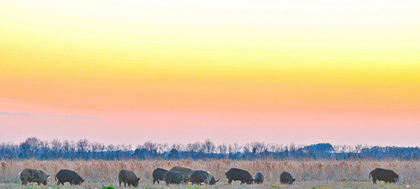 family of ferral hogs at sunset