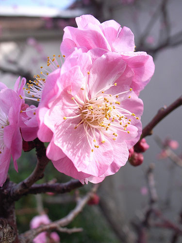 ume blossoms pink flowers
