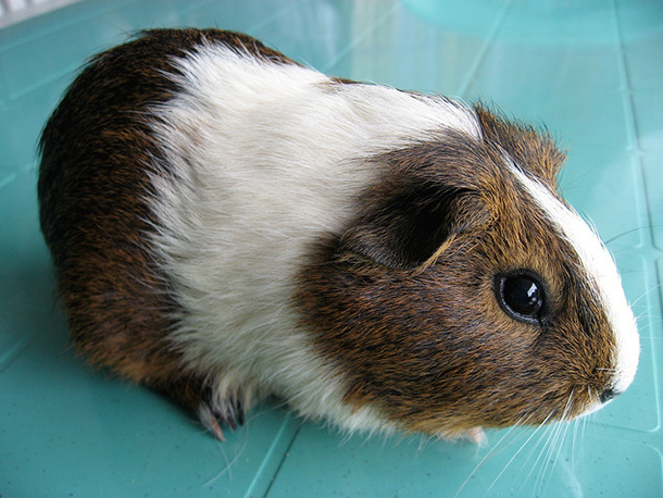 brown and white guinea pig against turquoise