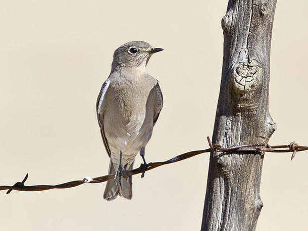 mountain bluebird on barbed wire fence