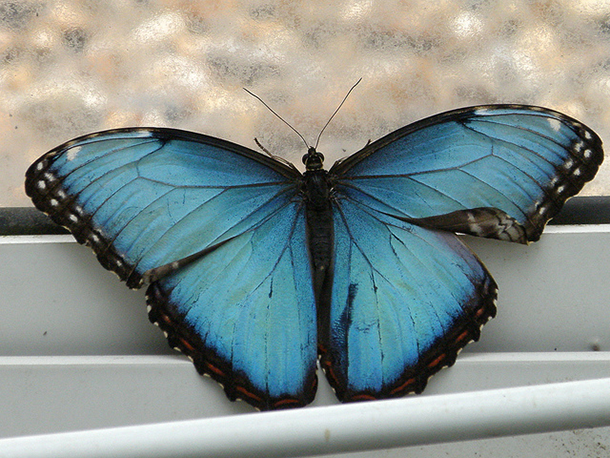 turquoise and black butterfly