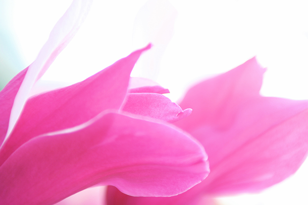hot-pink-flower-close-up-on-white-background