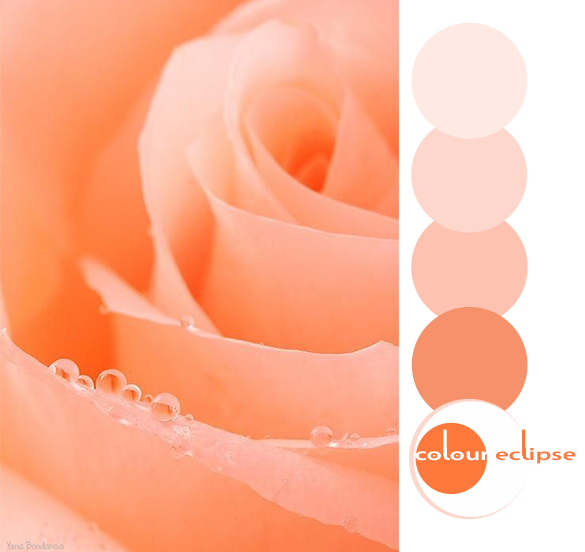 peach rose closeup with color palette