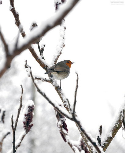european robin on a snow covered branch