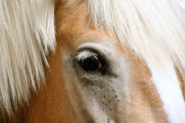 brown horse with blonde mane close-up