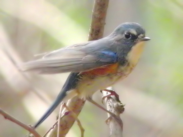 closeup of gray and blue bird on branch