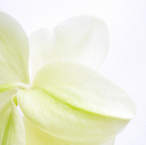 greenish-yellow orchid closeup
