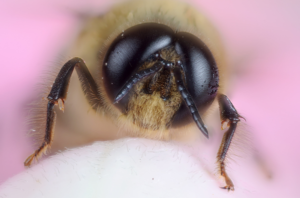 male honey bee close-up with hot pink background