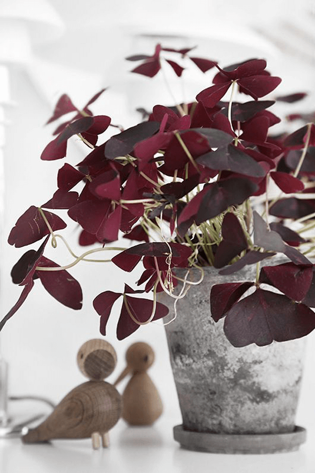 burgundy plant in galvanized metal pot
